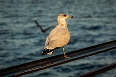 Ring-Billed Gull sitting on the railing close up stock photos