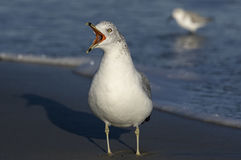 Ring-billed Gull Stock Images