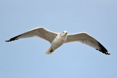 Ring-billed Gull. Spreading wings Royalty Free Stock Image