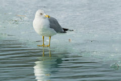 Ring-billed Gull. Standing on the edge of the ice Stock Photo