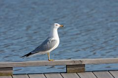 Ring-billed gull standing on a pier. Black tail, gray wings, white breast and black ring around its yellow bill, a gull profiles itself on a lakeside dock royalty free stock photos