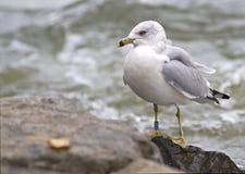Ring-billed gull Royalty Free Stock Image