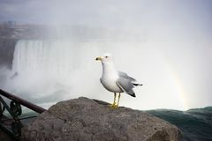 A gull stands on rocky outcrop by Niagara Falls stock photos