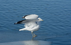 Ring billed gull stretching wings Stock Images