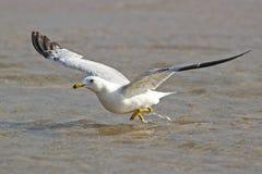 Ring-billed Gull Taking Flight. Ring-billed Gull (Larus delawarensis) Taking Flight From the Surface of Lake Huron - Ontario, Canada Stock Photos