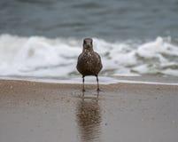 Ring Billed Gull fotografie stock libere da diritti