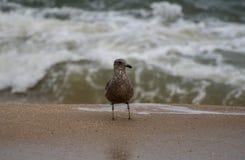 Ring Billed Gull fotografia stock