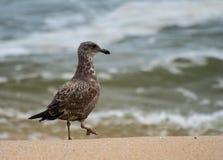 Ring Billed Gull fotografie stock