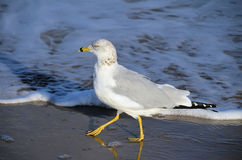Ring-billed gull walking. A young Ring-billed Gull in winter plumage, walking on the beach at the shoreline.  Taken on South Padre Island, Texas Stock Photography