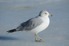 Ring billed gull royalty free stock photography