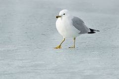 Ring-billed Gull. Walking on the ice Stock Photography