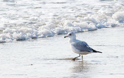 Ring-billed Gull walks along the shore Stock Photos