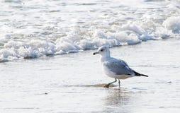 Ring-billed Gull walks along the shore Stock Photos
