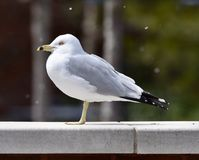 Ring-billed Gull on a Wall. This is an early Spring picture of a Ring-billed Gull standing on a wall with snowflakes falling in the background at the Lincoln Stock Images