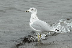 Ring-Billed Gull in Water Stock Photo