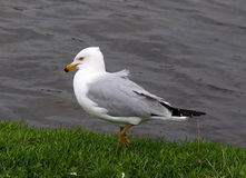 Ring Billed Gull Stock Image
