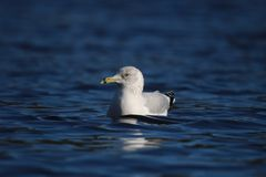 Ring-Billed Gull on a Winter Lake royalty free stock image