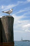 Ring-billed gull (Larus delawarensis) on background of Liberty Island. New York Royalty Free Stock Images
