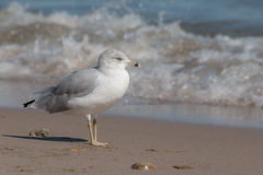 Ring-Billed Gull (Larus delawarensis) Royalty Free Stock Photo
