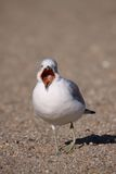 Ring-billed Gull Yawning Royalty Free Stock Photo