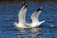 Ring-billed Gulls Royalty Free Stock Photography