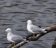 Ring-billed Gulls. This is an early Spring picture of two wild Ringed-billed gulls perched on a branch on a pond at the Lincoln Park Zoo located in Chicago Royalty Free Stock Photo