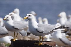Seagulls - Ring-billed Gulls. A flock of Ring-billed gulls near their nesting colony Royalty Free Stock Photo