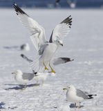 Ring billed gulls Royalty Free Stock Photos