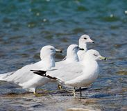 Ring Billed Gulls Or Larus Delawarensis royalty-vrije stock foto