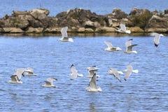Ring-billed gulls. Larus delawarensis flying over Lake Erie, Lorain, Ohio, USA stock images