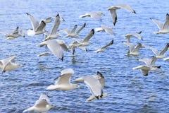Ring-billed gulls. Larus delawarensis flying over Lake Erie, Lorain, Ohio, USA stock photography