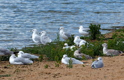 RIng Billed Gulls Or Larus Delawarensis op Sandy Shore royalty-vrije stock afbeelding