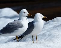 Ring Billed Gulls Standing In-Sneeuw stock foto