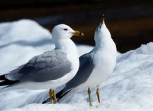 Ring Billed Gulls Standing In-Sneeuw royalty-vrije stock foto