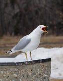 Ring Billed Gulls Royalty Free Stock Image