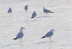 Ring-billed gulls stock image