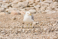 Ring Billed Sea Gull Royalty Free Stock Photos