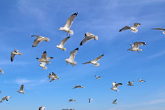 Ring-billed sea gulls against a blue sky Royalty Free Stock Photo