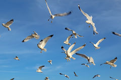 Ring-billed sea gulls against a blue sky Stock Photography