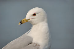 Ring-billed Seagull Royalty Free Stock Photo