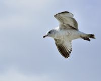 Ring-billed Seagull Royalty Free Stock Photography