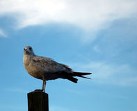 Ring-billed Seagull. A Ring-billed Gull First Winter perched on a pylon.  Pretty blue sky in the background Royalty Free Stock Photos