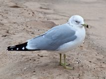 Ring-billed seagull. Royalty Free Stock Image