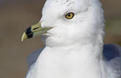 Ring Billed Seagull Royalty Free Stock Images
