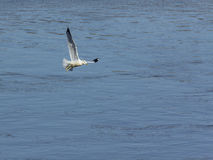 Ring billed seagull with fish Royalty Free Stock Images
