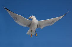 Ring Billed Seagull in flight Stock Images