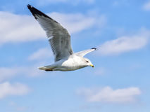 Ring-billed seagull in flight. Stock Image