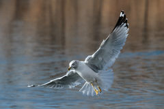Ring-billed Seagull in Flight Royalty Free Stock Image