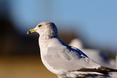 Ring Billed Seagull Perched on a fence gazing off to the left. Royalty Free Stock Photography