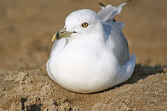 Ring Billed seagull resting on a sandy beach Royalty Free Stock Image